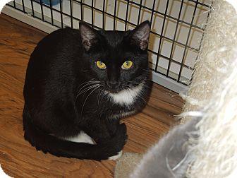Domestic Shorthair Cat for adoption in Medina, Ohio - Audri