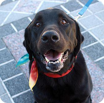 Labrador Retriever Mix Dog for adoption in Richmond, Virginia - Reilly