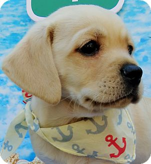 Beagle/Terrier (Unknown Type, Medium) Mix Puppy for adoption in Irvine, California - Redondo