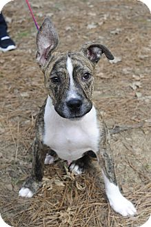 Pit Bull Terrier/Labrador Retriever Mix Puppy for adoption in Hagerstown, Maryland - Yoda