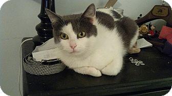 Domestic Shorthair Cat for adoption in Smithfield, North Carolina - Bethany