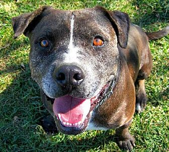 Catahoula Leopard Dog/American Staffordshire Terrier Mix Dog for adoption in Ventura, California - Bob