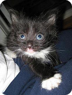 Domestic Shorthair Cat for adoption in Queens, New York - Kittens, kittens, kittens!