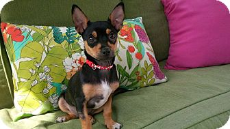 Chihuahua Mix Puppy for adoption in Chicago, Illinois - Chubby Monkey