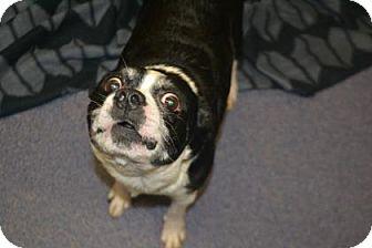 Boston Terrier Mix Dog for adoption in Edwardsville, Illinois - Mason