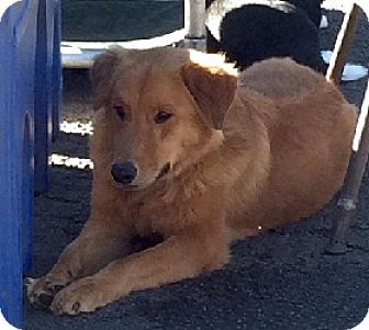 Golden Retriever Mix Dog for adoption in Austin, Texas - Sampson