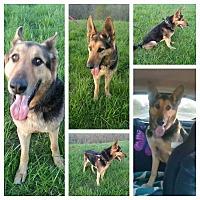 German Shepherd Dog Dog for adoption in Louisville, Kentucky - Saber