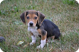 Beagle Puppy for adoption in Syacuse, New York - Trooper