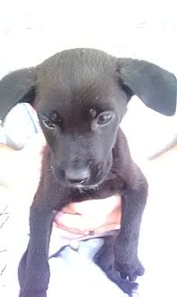 Boxer/Labrador Retriever Mix Puppy for adoption in Staunton, Virginia - Tot