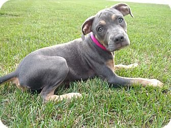 Doberman Pinscher Mix Puppy for adoption in Rochester Hills, Michigan - Roo