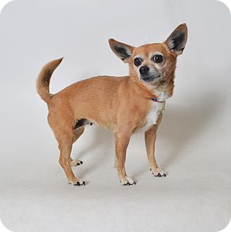 Chihuahua Mix Dog for adoption in Fruit Heights, Utah - Josie