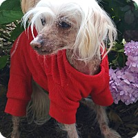 Adopt A Pet :: Lacey-ADOPTION PENDING - Bridgeton, MO