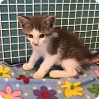Adopt A Pet :: Dutch - Sylvan Lake, MI
