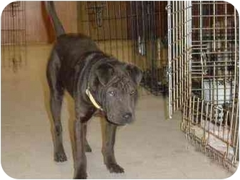 Shar Pei Puppy for adoption in Houston, Texas - Penny
