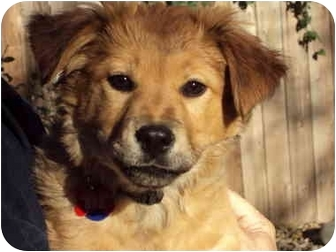Golden Retriever/Chow Chow Mix Puppy for adoption in Sacramento, California - Marcie