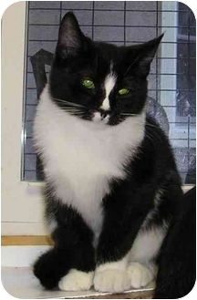 Domestic Shorthair Cat for adoption in Randolph, New Jersey - Harley