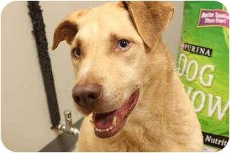 Golden Retriever/Labrador Retriever Mix Dog for adoption in Manhasset, New York - Luca