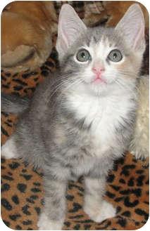 Domestic Shorthair Kitten for adoption in Mt. Prospect, Illinois - Pippa
