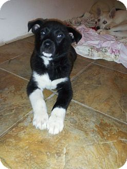Husky/Labrador Retriever Mix Puppy for adoption in Dover, Delaware - Arianna