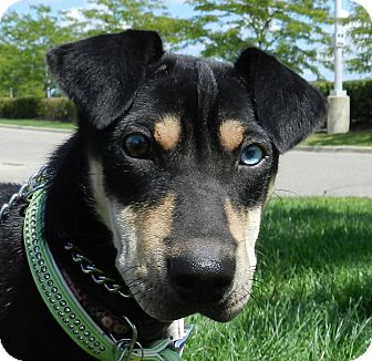 Labrador Retriever/Doberman Pinscher Mix Puppy for adoption in Birmingham, Michigan - Princess