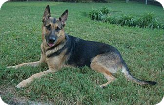 German Shepherd Dog Dog for adoption in Houston, Texas - Lola