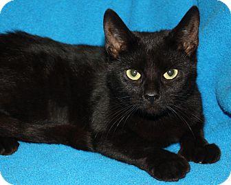 Hemingway/Polydactyl Cat for adoption in Rochester, New York - Veronica Lake