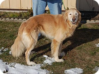 Golden Retriever Dog for adoption in North Judson, Indiana - Mary