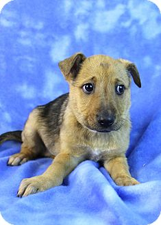 Shepherd (Unknown Type)/Husky Mix Puppy for adoption in Westminster, Colorado - Aquarius