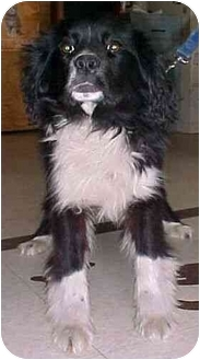 Spaniel (Unknown Type) Mix Dog for adoption in North Judson, Indiana - Shaker