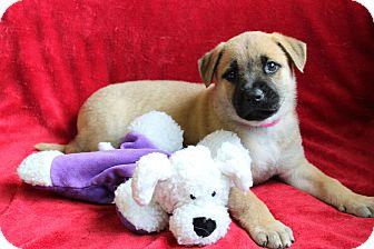 German Shepherd Dog/Boxer Mix Puppy for adoption in Loxahatchee, Florida - HERA