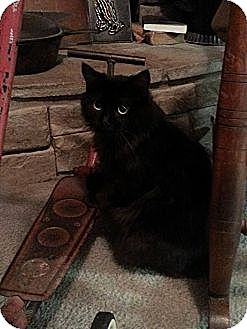 Domestic Longhair Cat for adoption in Hartford, Kentucky - Jezzie