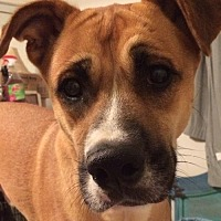 Adopt A Pet :: Bruno: Shy Oaf Loves to Play - Newport Beach, CA