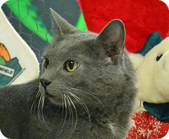 Domestic Shorthair Cat for adoption in Searcy, Arkansas - Frack