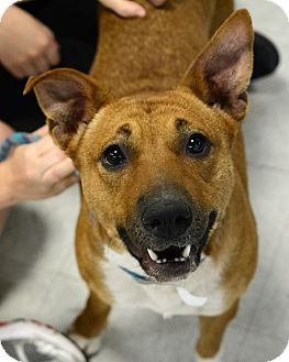 Retriever (Unknown Type)/Basenji Mix Dog for adoption in Wilmington, North Carolina - Bridget