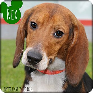 Beagle Puppy for adoption in South Plainfield, New Jersey - Rex