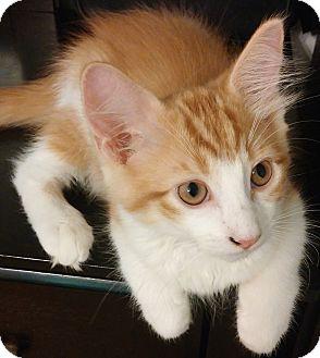 Domestic Shorthair Kitten for adoption in Houston, Texas - Donut