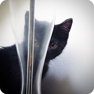 Domestic Shorthair Kitten for adoption in Southington, Connecticut - Zane