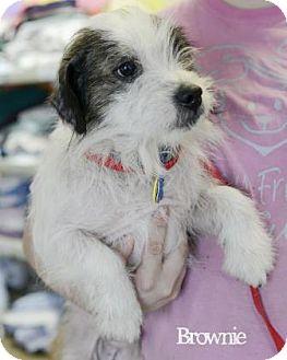 Shih Tzu/Cattle Dog Mix Dog for adoption in West Des Moines, Iowa - Brownie