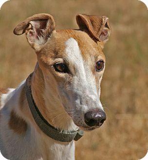 Greyhound Dog for adoption in Portland, Oregon - Maya