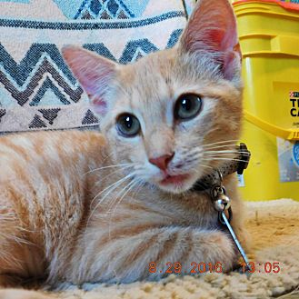 Domestic Shorthair Cat for adoption in Perryville, Missouri - Buttercup