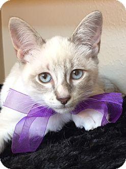 Siamese Kitten for adoption in Houston, Texas - Gracie