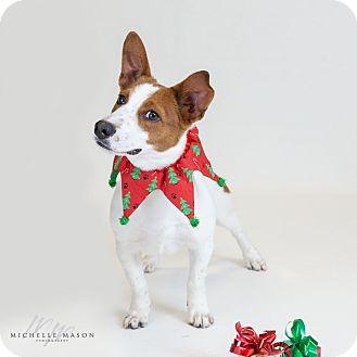 Corgi Mix Dog for adoption in Naperville, Illinois - Hart