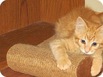 Domestic Mediumhair Kitten for adoption in Vacaville, California - Hewey