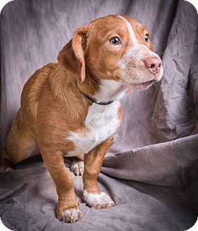 Corgi/Beagle Mix Dog for adoption in Anna, Illinois - WESLEY