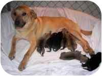 Labrador Retriever Mix Dog for adoption in Warren, New Jersey - Goldie