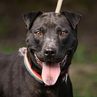 Shar Pei Mix Dog for adoption in Asheville, North Carolina - Panther (Courtesy)
