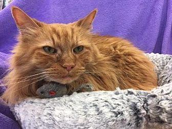 Domestic Mediumhair Cat for adoption in Alexandria, Virginia - Mr. Kitty