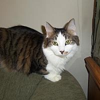 Adopt A Pet :: Cheddar_Courtesy Post - Columbia, MD