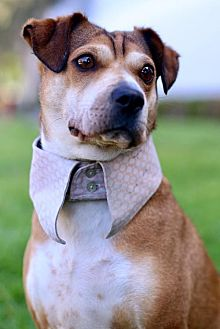 Beagle/Shar Pei Mix Dog for adoption in San Diego, California - Cannes