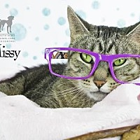 Domestic Shorthair Cat for adoption in South Bend, Indiana - Missy